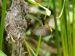 20160401-EM1X5033 (shutterblades) Tags: bird feeding nesting nests sunbirds gardensbythebay olympusem1 olympusmzuiko300mmf4pro