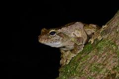 Green-eyed Tree Frog (Litoria serrata) (shaneblackfnq) Tags: tree green eye rainforest mt north lewis australia amphibian frog queensland tropical mont far tropics greeneyed fnq julatten litoria serrata shaneblack