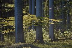 Buchenwald im Frhling (Caora) Tags: buchenwald balticsea april rgen ostsee ruegen beech fagussylvatica rotbuche buchenhallenwald