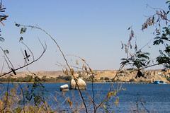 Branch (cpt_ahmed93) Tags: nature aswan nileriver