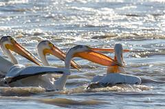 Amer. White Pelican - too slow (wildwood4est) Tags: birds wildlife places manitoba lockport americanwhitepelican