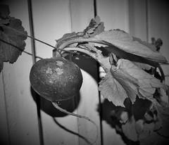 radish (Mango*Photography) Tags: food vegetables photography vegan artistic grunge veggie radish giuliabergonzoniphotography
