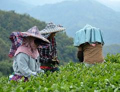 Alishan, Tainan (Lost in Kaohsiung) Tags: taiwan teaplantation alishan teapickers