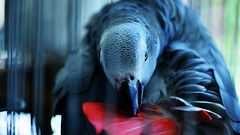 ODC-WHIMSICAL (| Haroon |) Tags: pet contrast dynamicrange tones whimsical odc greyparrot