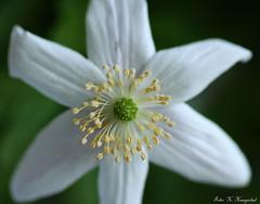 White anemone (K. Haagestad) Tags: plant flower macro petals springflower hvitveis whiteanemone stemens