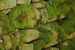 A mossy dyke with wren. (artanglerPD) Tags: stones wren dyke mossy strichen