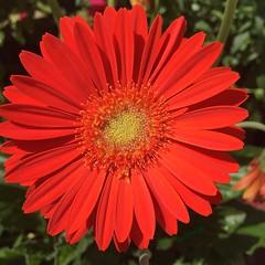 #nature #flower #floral #hiyapapayaphotoaday #day22 #hp_floral #flowers_ig #my_365 #my_365_nature #day113 #nothingisordinary #nothingisordinary_ #sunnypicchallenge #shinephotochallenge #littlebitsof_life #yourdailysnap #our_everyday_moments #flowersofinst (kelli.bergin) Tags: flower nature floral square squareformat day22 day113 113365 iphoneography instagramapp
