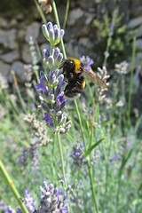 bumblebee on lavender :) (green_lover) Tags: flowers summer plants macro nature animals lavender croatia insects bumblebee