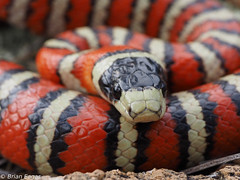 pyro 8 head (brianeagar) Tags: arizona nature reptile snake wildlife pyro herp kingsnake lampropeltis arizonamountainkingsnake lampropeltispyromelana