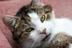 That darn cat (coffeego) Tags: portrait pet macro cute cat george feline whiskers