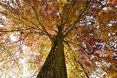On dirait presque l'automne (Valentin le luron) Tags: orange nature de la nikon suisse cte lausanne e yves fte paysage 800 arbre couleur contrejour tulipe vaud morges romandie feuillage paudex 20160424