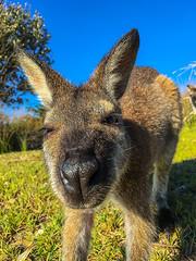 Kangaroo CU 2 (caralan393) Tags: nose cu phone kangaroo roo