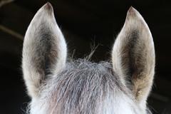 Dettagli equini - Horse datails (Raffa2112) Tags: horse white fuzzy details ears cavallo bianco orecchie canoneos750d raffa2112