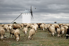 Schapen (Bram Meijer) Tags: windmill spain sheep spanje lamancha donquijote schapen molens windmolens campodecriptana