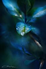 Magic Morning Leaves II (MaaykeKlaver) Tags: morning blue light plant macro green fairytale leaf magic droplet fairies evaporation
