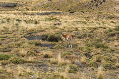 Guanaco on Guard (chasingthelight10) Tags: chile travel patagonia mountains nature photography landscapes countryside wildlife events lakes meadows places things guanaco torresdelpainenationalpark