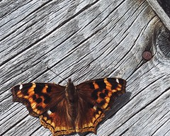 Does anyone know what species this is? Insect Flying Insect Moth Hairy  Furry Orange Color Resting Sunning Bare Wood Texture (Shannon F Gorman) Tags: hairy texture insect furry moth resting sunning flyinginsect orangecolor barewood