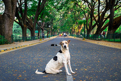 La vie est significative (- Ali Rankouhi) Tags: park dog chien india walk bangalore run april  cubbon  2016 farvardin cubb 1395    littledoglaughedstories