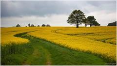 Spring in France (Paula Angls) Tags: france tree yellow arbol boom amarillo frankrijk geel arbre rapeseed colza koolzaad