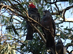 Male ( red crest ) and female Gang Gang Cokatoos (aussielyn6) Tags: red black bird native wildlife australian parrot cockatoo