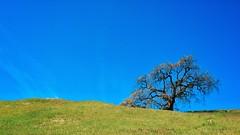 A tree (harminder dhesi photography) Tags: california park blue sky tree green nature landscape outdoors spring view hiking sonoma bayarea sonomacounty norcal glenellen jacklondon k3 16x9 vsco snapseed vscocam