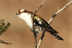 Chrysococcyx caprius  (Diderik Cuckoo) (Nick Dean1) Tags: bird southafrica cuckoo krugernationalpark satara birdwatcher lowersabie chrysococcyxcaprius thewonderfulworldofbirds birdperfect diderikcuckoo