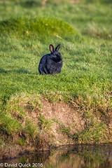 (DavidQuick) Tags: england black rabbit reserve hampshire marsh wildlifetrust farlington copyrightdavidquick2016