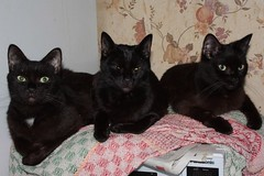 Three Blacks (fannyfadams) Tags: uk pet black animal cat feline moggy anglesey northwales a55