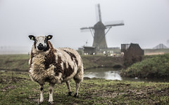 Dutch cliché (DC P) Tags: netherlands windmill beautiful dutch animal animals vintage landscape 50mm fantastic dof sheep wind bokeh pov farm 14 farming windmills polder sheeps depth fod cliché bej flickrtravelaward
