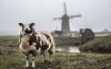 Dutch cliché (DC P) Tags: netherlands windmill beautiful dutch animal animals vintage landscape 50mm fantastic dof sheep wind bokeh pov farm 14 farming windmills polder sheeps depth fod cliché bej flickrtravelaward