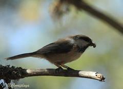 Carbonero Lapón Siberian Tit (Poecile cinctus) (Corriplaya) Tags: birds aves siberiantit corriplaya poecilecinctus carbonerolapón