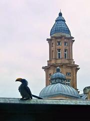 Vienna (Erich Hochstöger) Tags: vienna wien building bird tower rain turm gebäude regen vogel hausdesmeeres apollokino apollocinema flyingbanana tocko gelbschnabeltocko