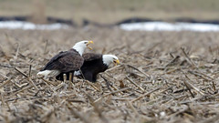 Bald Eagles by Steve Gifford (Steve Gifford - IN) Tags: county bird nature photo eagle wildlife pair steve bald picture indiana photograph raptor steven mate society gibson mates eagles audubon gifford ias haubstadt