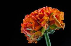 Ranunculus Fascination... (Rainer Fritz) Tags: flower natur ranunculus blte ranunkel