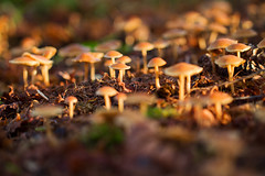 Last sunrays of the day (smir_001 (on/off)) Tags: park uk winter england plants abstract macro nature mushroom yellow closeup mushrooms flora december bokeh arboretum fungi fungus british colourful brownish westonbirtarboretum bluish deceivers southgloucestershire laccarialaccata forestrycommission laccaria agarics laccata canoneos7d thedeceiver waxylaccaria