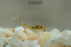 Baetis rhodani nymph female (Roberto PE) Tags: ephemeroptera baetis baetidae rhodani