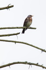 On the lookout (pakerholm) Tags: bird birds animals spring sweden wildlife may aves sverige norrkping avian turduspilaris maj vr fieldfare rastas fglar djur fgel lintu linnut bjrktrast trast rkttirastas vildadjur