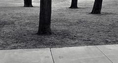 Four Trees (JeffStewartPhotos) Tags: trees blackandwhite bw toronto ontario canada four blackwhite sidewalk photowalk trunks toned foursome torontophotowalk topw torontophotowalks 501streetcarwalk topw501