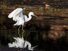 dancing egret (fins'n'feathers) Tags: winter sc water southcarolina egret snowyegret wadingbird wingsbird acebasin bearislandwma