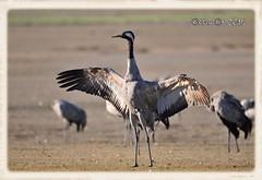 GRULLA COMUN (Grus grus) (JORGE AMAYA BUSTAMANTE - JAKKEMATE) Tags: grulla comun grus gallocanta common crane jorge amaya bustamante sigma 150500 nikon d300