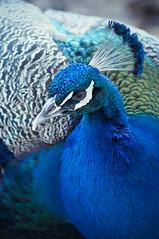 pavo_real (mamonto_70) Tags: zoo colombia peacock aves animales medellin peafowl antioquia suramerica 2016 zoologico pavocristatus nikond90 areametropolitana valledeaburra