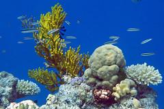 Juvenile wrasse and coral, Great Barrier Reef, Australia (Hawkfish) Tags: coral underwater australia snorkeling queensland greatbarrierreef marinelife wrasse canonpowershots100
