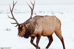 What color was Rudolph's Nose? (Henry T. Cadwalader) Tags: nature mammal nationalpark nikon wildlife conservation wyoming elk tamron grandteton jacksonhole wy natureconservancy wildlifephotography jacksonwy