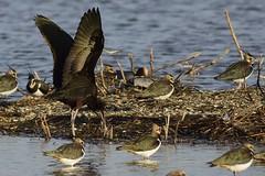_HNS6919 Zwarte Ibis : Ibis falcinelle : Plegadis falcinellus : Brauner Sichler : Glossy Ibis
