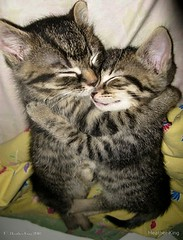 Enfold (heatherkingtheowlqueen) Tags: sleeping cats ontario canada cute love cat fur bed hug feline soft sweet tabby ottawa adorable kitty fluffy kittens felines comfy tabbycats heatherking locustgirl owlqueen