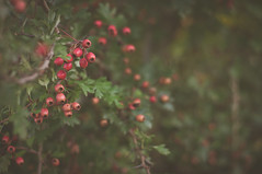 Where berries grow (*M.*) Tags: red green nature 50mm berries bokeh depthoffield beeren