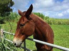 A horse I passed by near Pololu Valley, Hawaii (part 3) (Hazboy) Tags: vacation horse island cheval hawaii big october state cavallo pferd aloha paard pololu 2015 hazboy hazboy1