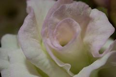Dust on Petals (nak.viognier) Tags: flower petal dust leicadgmacroelmarit45mmf28 olympusepl3
