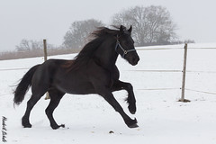 Friesenstute Donna (HendrikSchulz) Tags: horse germany cheval deutschland donna cavallo pferd friesen chevaux friesian 2016 frison frisian animalphotography tierfotografie stute frisone pferdefotografie cavallofrisone horsephotography friesenstute friesenstallweh