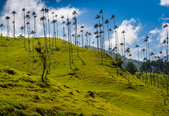Wax Palms in Cocora Valley (GarethHay) Tags: trees america landscape colombia south palm wax cocora